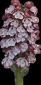 Ophrys purpurea