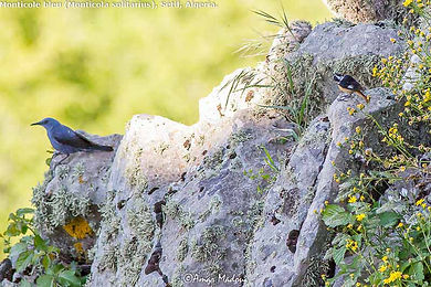 Monticola solitarius, Phoenicurus mousieri