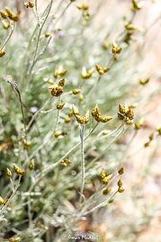 Phagnalon sordidum (L.) Rchb (Guerth)