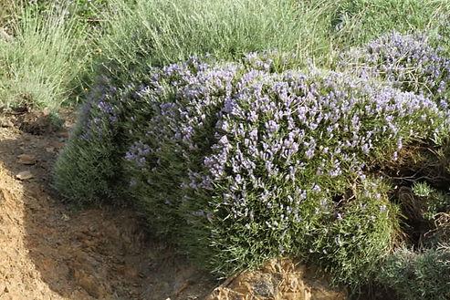 Erinacia anthyllis