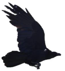 corbeau.png