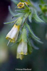 Onosma fastigiata mauretanica