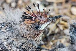 Upupa epops  juvenille