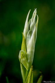 Serapias parviflora hypochrome