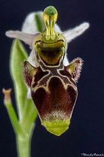Ophrys scolopax apiformis
