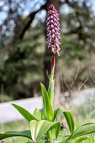 Himanthoglossum robertianum