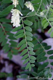 Vicia ochroleuca subsp. baborensis