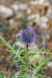 spinosus spinosissimus subsp. spinosus