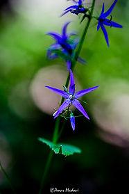 Campanula trichocalycina