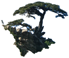 Cedrus atlantica