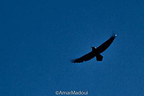 Grand Corbeau Corvus corax