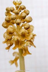 Neotia nidusavis (Babor)