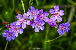 Geranium  atlanticum