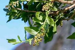 Coriaria myrtifolia Tababort
