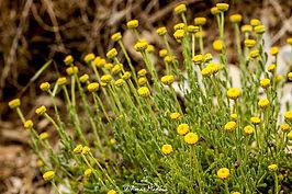 Flore de Sétif Barage Maouane