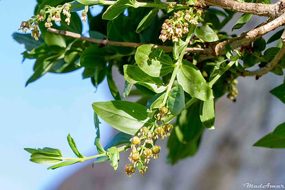 Coriaria_myrtifolia_Babor_21052017_MadAm