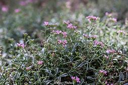 Alyssum spinosum