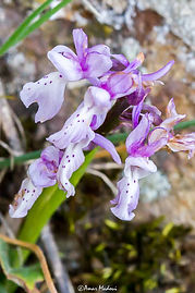 Orchis laeta Megriss