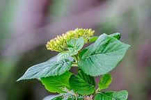 Viburnum lantana Babor