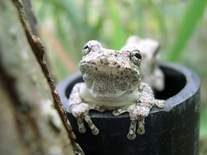 Frog Monitoring