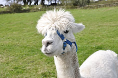 Alpaca Star Trekking Experience Days Out in Cornwall
