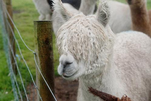 Alpaca Adoption Ruby