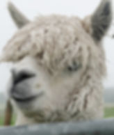 Alpaca Jacamo Days Out in Cornwall