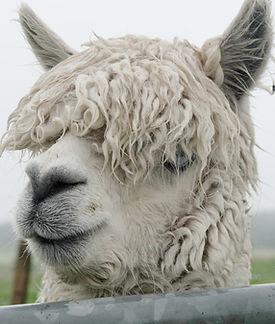 Alpaca Jacamo Days Out in Cornwall