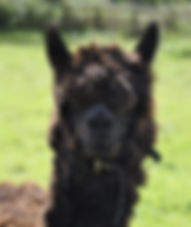 Alpaca Porthos Trekking Experience for all the Family