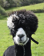 Alpaca Ludo Trekking Experiences Day Out for all the Family