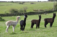 Cornwall Alpacas Trekking Experience Days Out for Children
