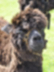 Alpaca Athos Trekking Experience Day Out for all the Family