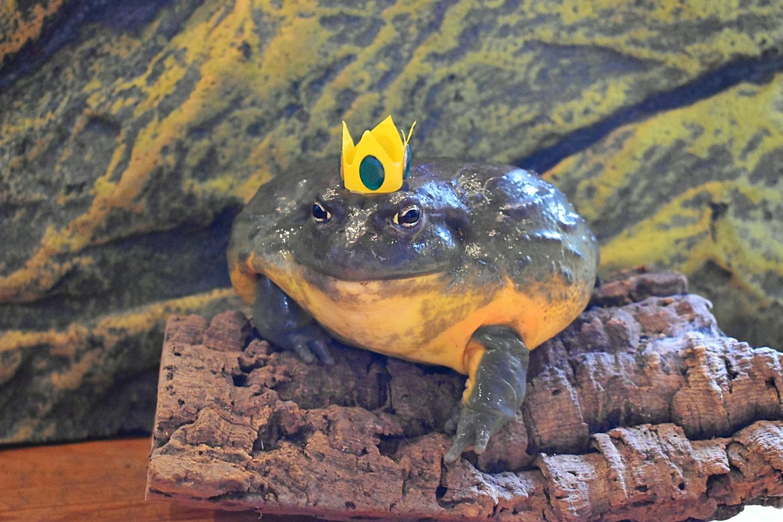 Chubbs- African Bull Frog