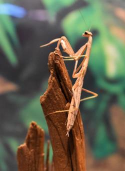 Freya- Praying Mantis