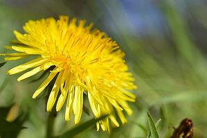 dandelion-4119846_1920_edited.jpg