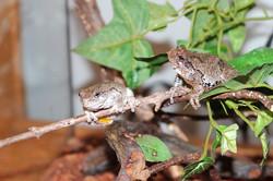Bonnie & Capone- Grey Tree Frogs