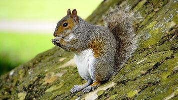 grey-squirrel-1451040_1920.jpg