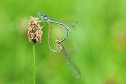 dragonflies-4369435_1920.jpg