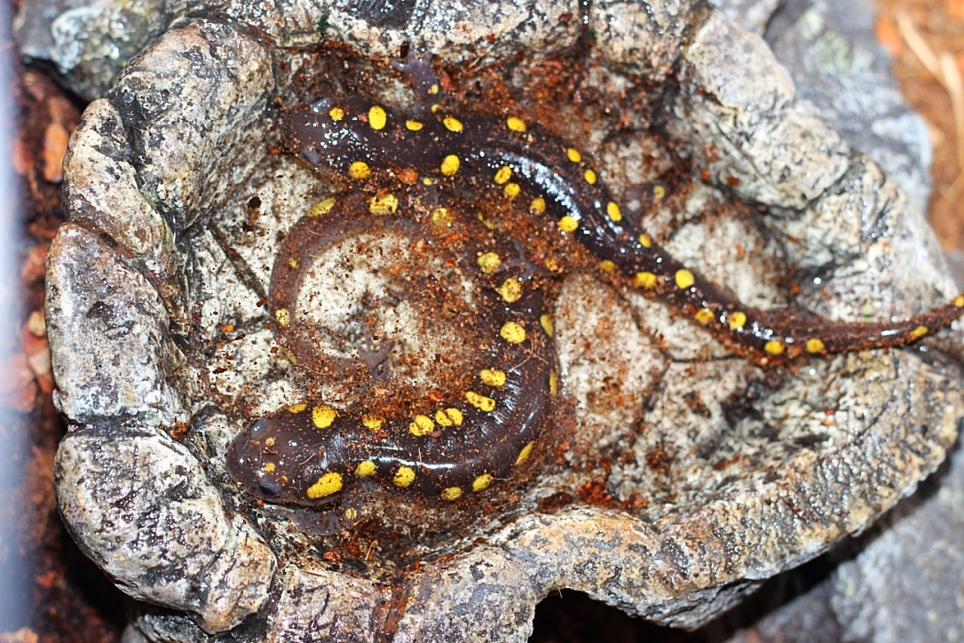 Spot & Dot- Spotted Salamanders