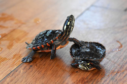 Squirt & M&M- Painted Turtles