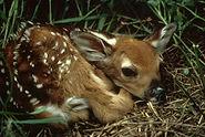 baby fawn.jpg