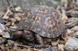 Sprinkles- Eastern Box Turtle