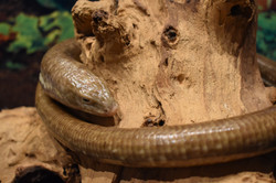 Izzy- Legless Lizard