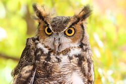 Hooty- Great Horned Owl