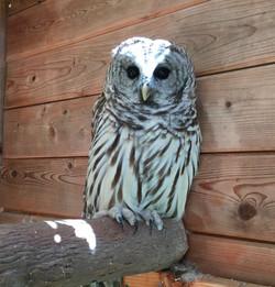 Click- Barred Owl