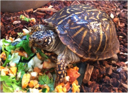 Juanita- Ornate Box Turtle