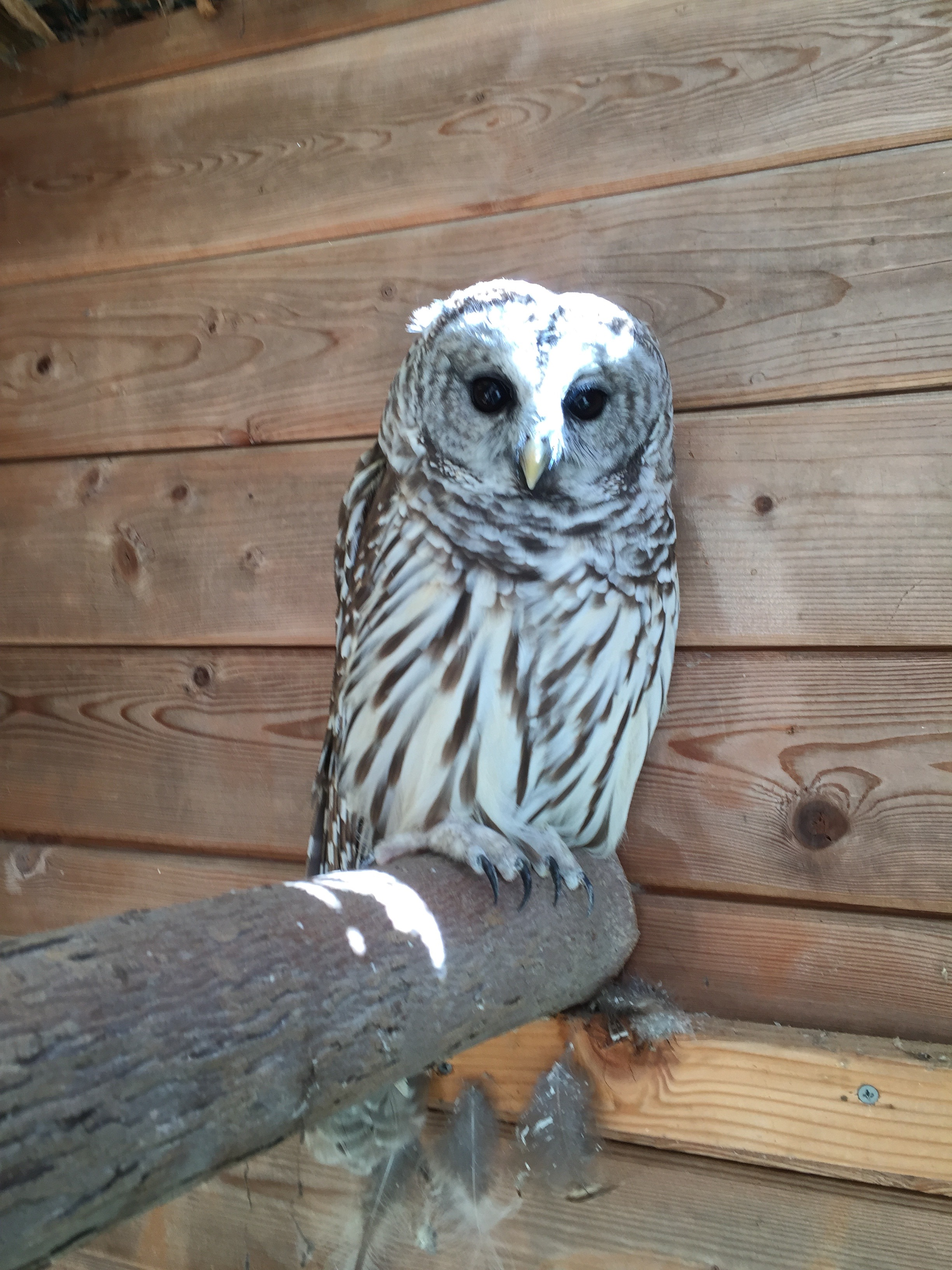 Click- Barred Owl