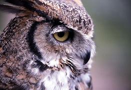 great-horned-owl-1106379_1280.jpg