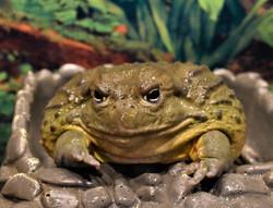 Chubbs- African Bullfrog
