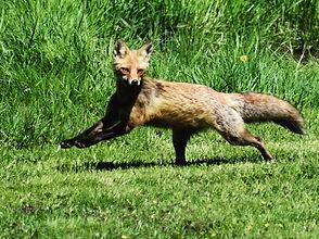 Fox Friend.JPG